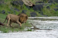 lion-vs-crocodile